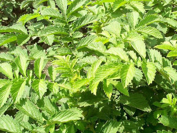 抗癌良药:仙鹤草对癌症的作用
